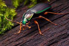 Chlaenius (andre de kesel) Tags: africa benin coleoptera carabidae focusstacking chlaenius zerenestacker canonef100mm128lisusm cognisysstackshot sonya6300 metabonescanoneftosonyesmartadaptermarkiv