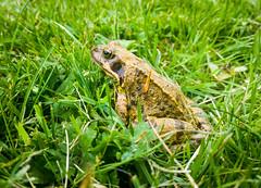 Frog! (adairfarrar) Tags: lg g4