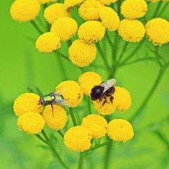 insects... (karpo65) Tags: insects sonyslta57 tamron70300mmtelemacro12 tansy tanacetumvulgare bumblebee blowfly nature 2016