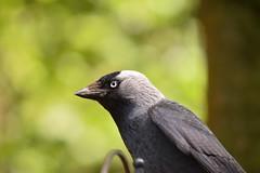 The whites of its eyes (monty689) Tags: white black eye bill beak corvid jackdaw corvusmonedula