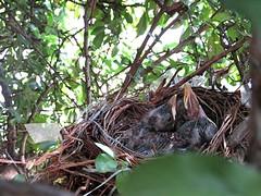 IMG_1192_Fotor01 (Ela's Zeichnungen und Fotografie) Tags: baby nest natur hannover tier vogel busch kcken