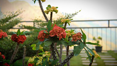 A Flowery Weekend Ahead (Chandana Witharanage) Tags: srilanka southasia pearloftheindianocean fencefriday happyfencefriday weekend floral plants flowers blossoms green ellagappanoramahotel hillcountry mist mistyatmosphere blurry bokeh awesome breathtaking beautiful background colourful holiday handheld journey light nature naturallight outdoor photographer sightseeing travel unique vacation visit wonderful euphorbiaflowersspurge