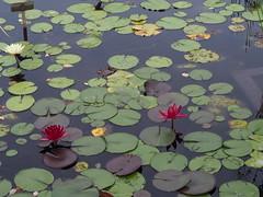 RBG Water Lily 1 (JP Newell) Tags: rbgroyalbotanicalgardens burlington ontario waterlily waterlilies lilies water garden pond