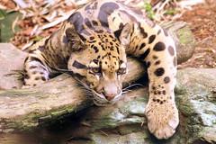 Clouded Leopard - Nashville Zoo (SeeMidTN.com (aka Brent)) Tags: neofelisnebulosa cloudedleopard wildcat feline nashville tn tennessee zoo nashvillezoo bmok