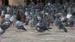 Un troupeau de Pigeons  Paris (LeonieM.) Tags: paris pigeon pigeons troupeau col vert rassemblement trottoir animaux journee ville amitie famille