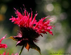 If we don't believe in freedom of expression.... (itucker, thanks for 2.3+ million views!) Tags: macro bokeh hbw dukegardens beebalm