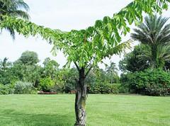 Caryoto gigas --  Fishtail Palm 8497 (Tangled Bank) Tags: mounts botanical botanis garden west palm beach county florida caryoto gigas single fishtail 8497 plant flora botany tree