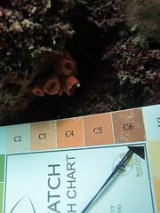 GCMP_sample_photo_1339 (r.mcminds) Tags: ii hexacorallian scleractinian islacontadora needsspeciesid pacificocean idbyjoepollock cnidaria gcmp anthozoan tubastraea complex tubastraeasp taxonomyuncertain panama metazoan islasdelasperlas gcmpsample indopacific e112tubsp420150501 animal cnidarian dendrophylliidae globalcoralmicrobiomeproject hardcoral orangecupcoral stonycoral saboga panamá pa