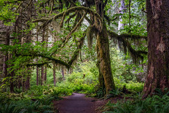 The Tree (Kirk Lougheed) Tags: ent hallofmosses hohrainforest lotr olympic olympicnationalpark olympicpeninsula tolkein usa unitedstates washington forest landscape nationalpark outdoor rainforest summer temperate