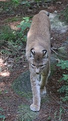 IMG_7064 Luchs (c4harry) Tags: chattengau tiere wald edersee kosystem kellerwald luchs