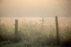 Mother in the morning mist (m-n-g photography) Tags: roe deer hirsel woods coldstream wheat field morning mist mother baby sunshine
