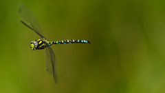 2016 Monkwood - Southern Hawker banking (Birm) Tags: aeshna cyan hawker dragonfly worcestershirewildlifetrust wwt monkwood reserve insect summer august male sourthern inflight flight