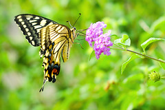 Female Yellow Swallowtail on Small Flower : ( (Dakiny) Tags: 2016 autmn september japan kanagawa yokohama aoba ichigao outdoor nature field river riverside tsurumi tsurumiriver plant flower blossom pink creature animal insect bug butterfly swallowtail yellowswallowtail commonfemaleyellowswallowtail oldworldswallowtail yellow macro bokeh nikon d7000 sigma apo 70200mm f28 ex hsm apo70200mmf28exhsm sigmaapo70200mmf28exhsm nikonclubit