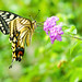 Female Yellow Swallowtail on Small Flower : 花にとまるキアゲハ(♀)
