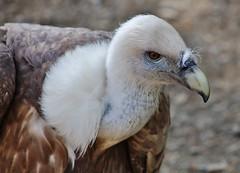 vulture (Hugo von Schreck) Tags: hugovonschreck vuture geier bird vogel outdoor canoneos5dsr tamron28300mmf3563divcpzda010 germany waldeck edersee