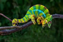 I am so angry!!! :) (JanBures_com) Tags: chameleon furcifer pardalis ambilobe terrarium madagascar animal ngc