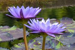 Lavender Lilies (FagerstromFotos) Tags: flower flowers lilies waterlilies lavender green gardenpond watergarden atlantabotanicalgardens nature water