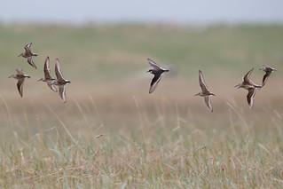 Several shorebird species in flight.