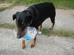 1474719810_2016_Sep_24_08-23-30_waterbottle076 (yclept8) Tags: doberman julie