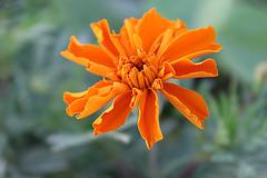 October Birth (kevin_art) Tags: marigold marigolds taget tagets octoberflowers