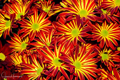 A Bounty of Brilliant Color (jhambright52) Tags: macro macroflowers redyellow