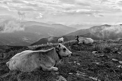 IMG_0427-01 (alessandro.russo91) Tags: imperia liguria italia italy natura nature mountain montagna alpi alpiliguri alps alpimarittime autunno autumn animali animals mucche cow cows bianco nero bianconero bn bw black white blackwhite fog foggy nebbia front vetta summit trecking panorama skyline landscape cloud cloudy dramatic weather cold lonely solitudine alone canon eos 100d canon100d reflex