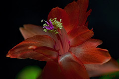 Christmas Cactus Macro (20141212-123000-PJG-6S) (DrgnMastr) Tags: macro stack christmascactus processed diamondclassphotographer flickrdiamond naturesspirit damniwishidtakenthat naturescreations newenvy hennysgardens dmslair sunshinegroup jadensgarden grouptags allrightsreserveddrgnmastrpjg pjgergelyallrightsreserved simplyflowers2014