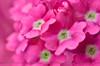 Color Me Pink (ArvinderSP) Tags: pink flowers closeup pinkflower merrychristmas pinks naturephotography 2014 588 pinkhues arvindersingh arvindersp arvinderspcom