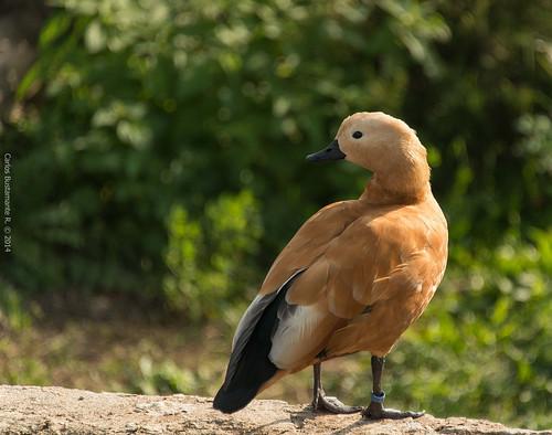Orange duck.