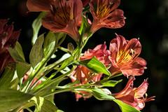 astromelia (oscar becerra) Tags: pink red flower mxico alstroemeria astromelia
