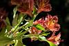 astromelia (oscar becerra) Tags: pink red flower méxico alstroemeria astromelia
