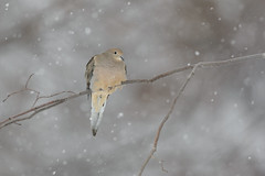 Snowy Mourning Dove_42782.jpg (Mully410 * Images) Tags: winter snow cold tree bird birds backyard branch dove snowing mourningdove birdwatching birder rf