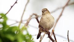 Wild Birds Unlimited 080s (Pat Durkin OC) Tags: bird sparrow 169 wildbirdsunlimited