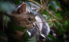 (Olivb77) Tags: cats pets france home nature animal animals garden chats berry jardin animaux