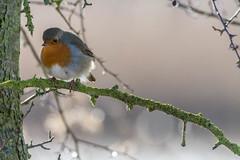 Robin of the day! (warren hanratty) Tags: robin erithacusrubecula cotswoldwaterpark wildbird passerine shorncotereedbeds warrenhanrattyphotography