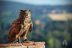 Civetta annoiata (alicegalella) Tags: animal natura volo owl animale volare civetta