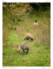 Chamois (BerColly) Tags: france automne google flickr auvergne chamois cantal bercolly autuln