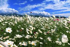 Hsinshe Township Flower Sea (Kimi Chiu) Tags: sky cloud plant flower canon landscape taiwan taichung       hsinshe 70d