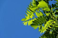 Hojas al cielo (Peppery Berry.~*) Tags: naturaleza green hojas rbol silueta leafs arriba