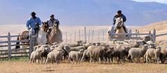 741 Gauchos (Docaron) Tags: santacruz argentina argentine estancia moutons pampa chevaux gaucho cavaliers dominiquecaron