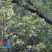 Kempudang baran (Cassine viburnifolia)