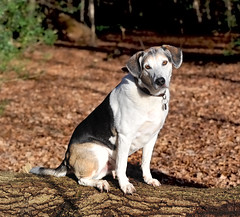 MILO (n.j.coomber) Tags: england pets dogs animals woodland countryside interestingness interesting milo forests hertfordshire englishcountryside hemelhempstead chipperfield chipperfieldcommon