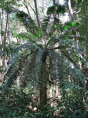 Lepidozamia hopei (tanetahi) Tags: native australian cycad zamiapalm lepidozamiahopei zamiaceae lepidozamia arfp qrfp hopescycad tropicalarf lowlandarf uplandarf understoreyarfp