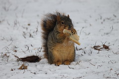 Squirrels in the Snow at the University of Michigan (January 5, 2015) (cseeman) Tags: winter snow cold animal campus squirrels eating michigan annarbor peanut snowing universityofmichigan umsquirrels01052015 januaryumsquirrel