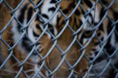 Animals (41 of 46) (TaufeeqK) Tags: coyote animal vancouver zoo eagle tiger baldeagle peacock fox zebra cheetah artic riendeer