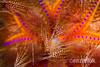 Detail of a blue-spotted sea urchin (Arno Enzerink) Tags: ocean life sea water marine colorful underwater philippines dive scuba diving sealife colourful aquatic ph urchin shining radiating seaurchin marinelife pulsating echinoidea longspinedseaurchin mamajao astropygaradiata roterdiademseeigel bluespottedseaurchin