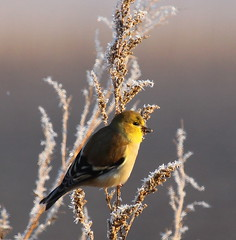 IMG_3336-1 American Goldfinch (John Pohl2011) Tags: winter bird weather canon john 100400mm pohl perching t4i 100400mmlens canont4i