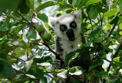 2014 025 Madagascar 060 - RAWtherapy (ngari.norway) Tags: africa travel reserve lemurs madagascar anja ringtailed ngariphotosphotography