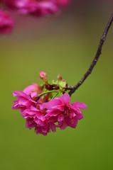 Sakura . Cerasus lannesiana in Taiwan (photor432) Tags: roc taiwan  cherryblossom sakura taichung  cerasus csh kirschblte    krsbrsblom kersenbloesem flordecerejeira  nikon300mmf4 fioridiciliegio   flordecerezo fleurdecerisier hoaanho lannesiana bungasakura     cerasuslannesiana    cshblack432 cherrybunga