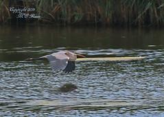 Great Blue Heron Looking for Girlfriend (1 of 3) in Summer at Richard DeKorte Park (Meadowlands), Lyndhurst, New Jersey (takegoro) Tags: new bird heron nature wildlife meadowlands wetlands marsh sanctuary jersey great blue richarddekortepark lyndhurst